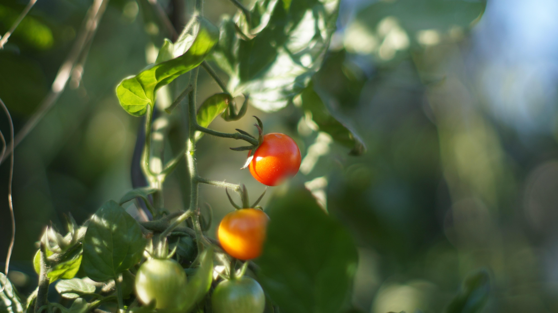 העגבניות שאוהבות שפכים