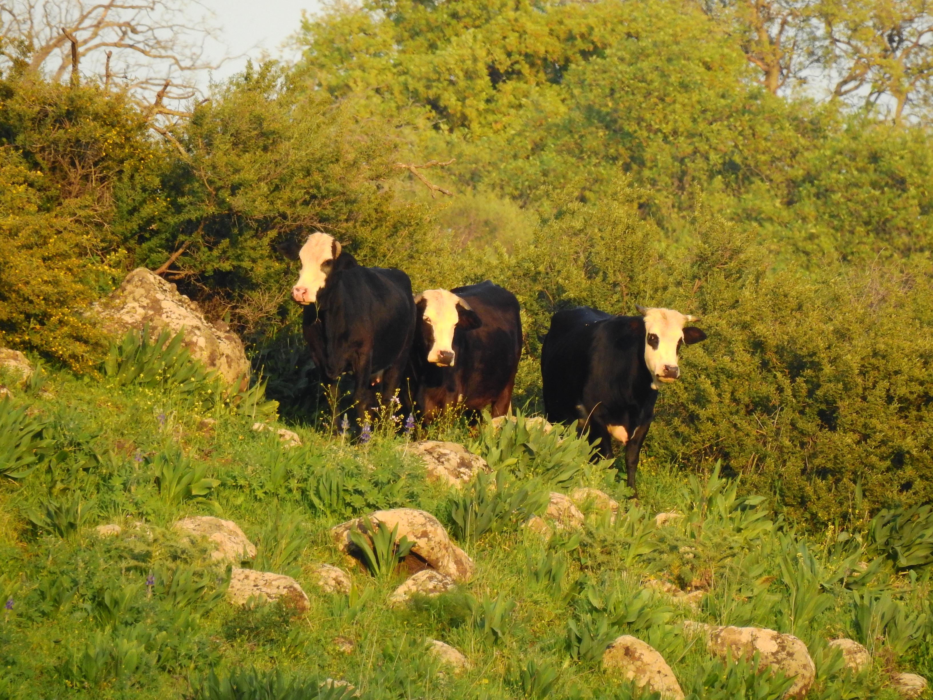 פרות הפרא של רמת הגולן