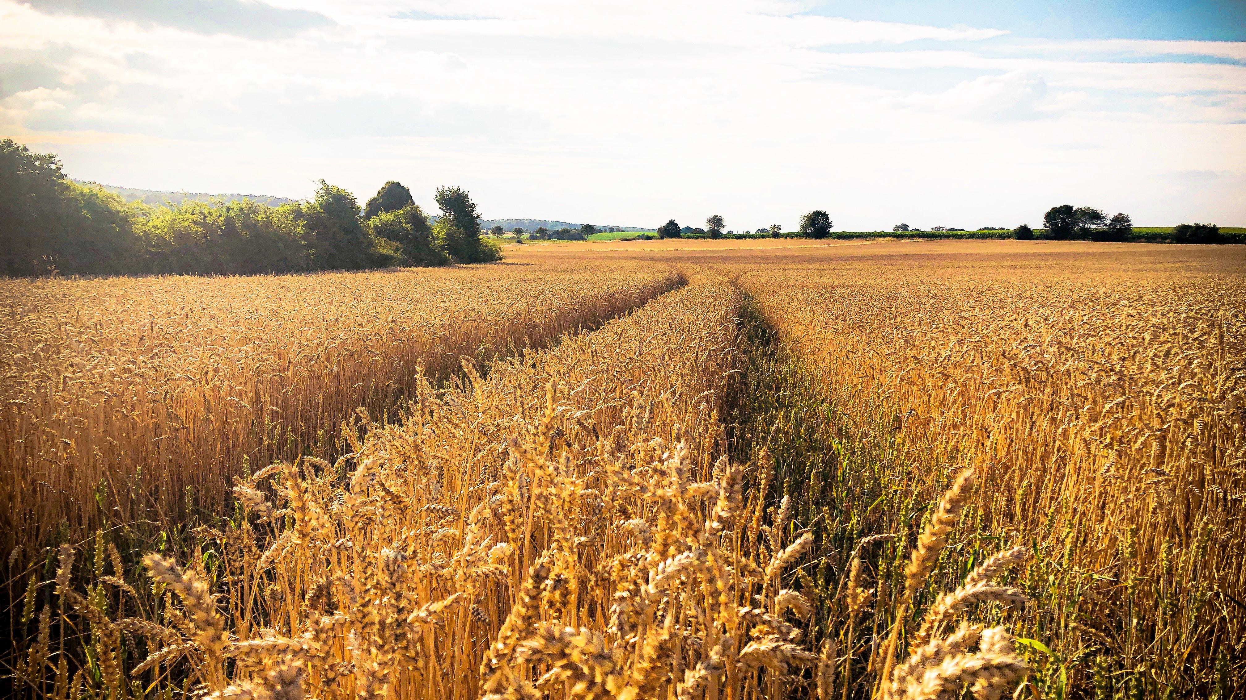 brown wheat field under white clouds during daytime